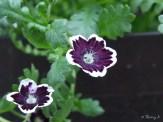 Nemophila 'Penny Black'