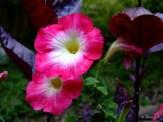 petunias and alternanthera