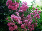 pink climbing roses on arbor