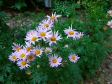 Clara Curtis daisies