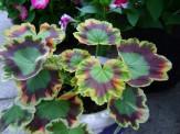Pelargonium 'Contrast'