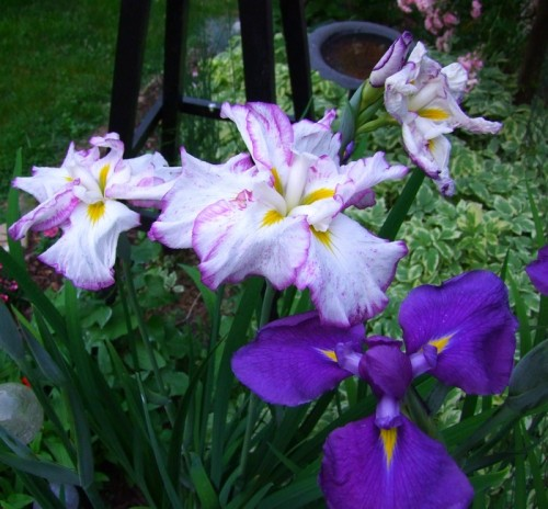 Japanese Iris in front bed
