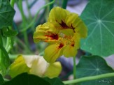 yellow and red nasturtium