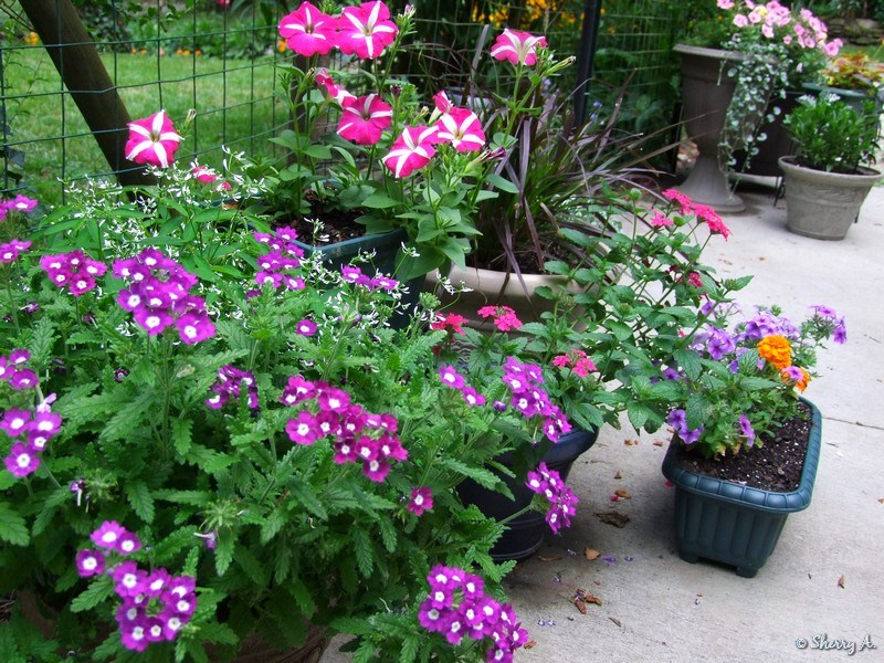 Container gardening sherry 39 s place - Growing petunias pots balconies porches ...