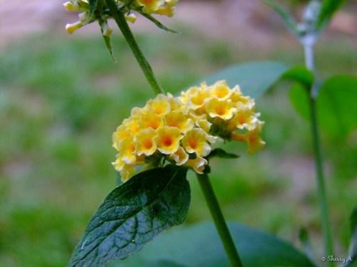 honeycomb buddleja