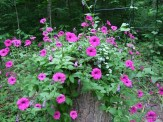 shockwave petunia on a stump