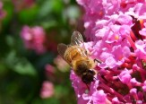bee on pink delight buddlea