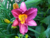 Daylily Prairie Blue Eyes
