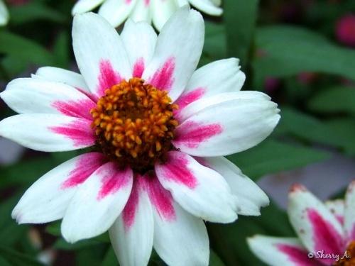 starlight rose zinnia