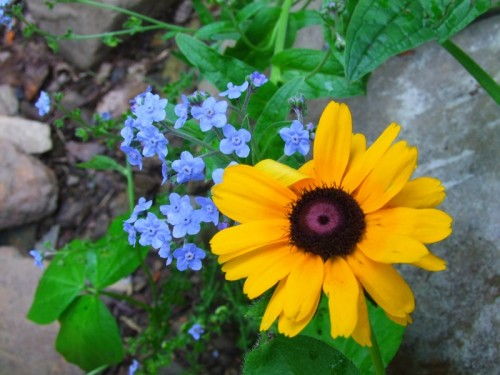 chinese forget me nots and rudbeckia