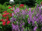 pentas and angelonia
