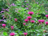 bee balm and butterfly bush