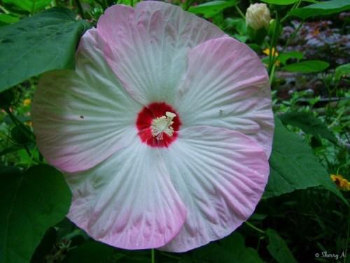 hisbiscus luna blush
