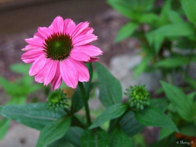 Wild Echinacea Plant Wow Wild Berry Echinacea