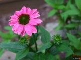 one of the newly planted powwow coneflowers