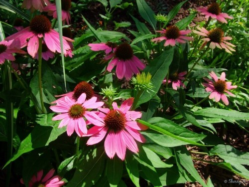 powwow echinacea flowers and foliage
