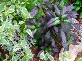 young black pearl plant