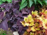 dark leaves and henna coleus