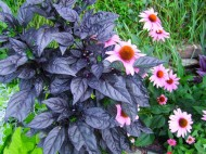 black pearl pepper with coneflowers