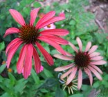 hot summer coneflowers