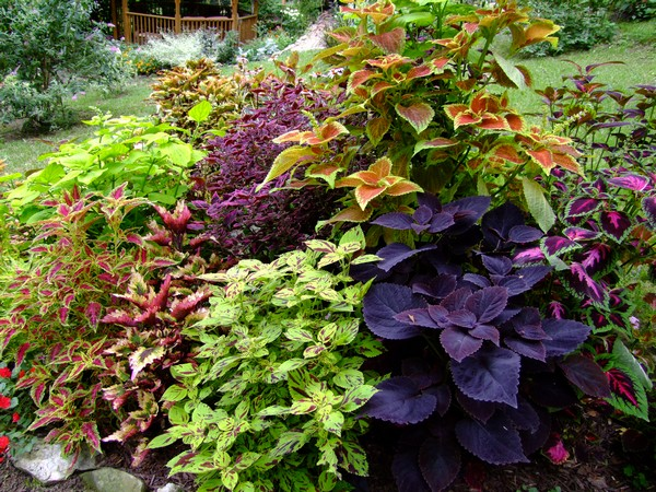 the coleus bed in august  sherry's place, Beautiful flower