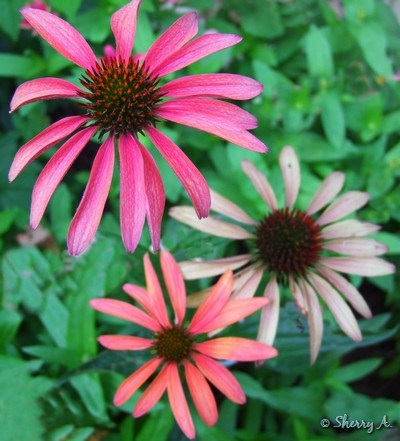 various colors on hot summer coneflowers