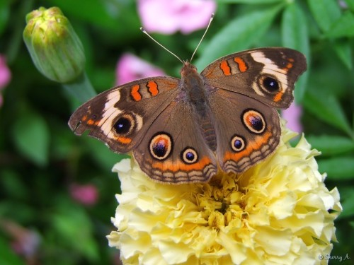 common buckeye eyespots on wings