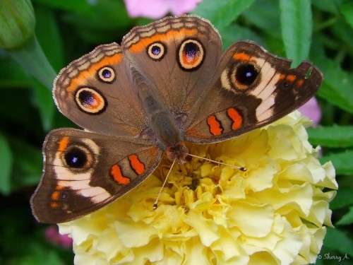 common buckeye on a marigold