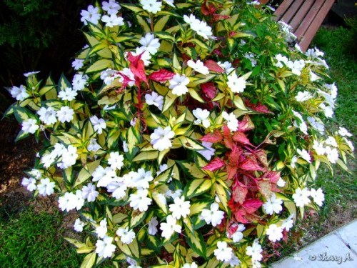 'SunPatiens® Spreading White' Impatiens