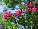 crape myrtle tree blooming