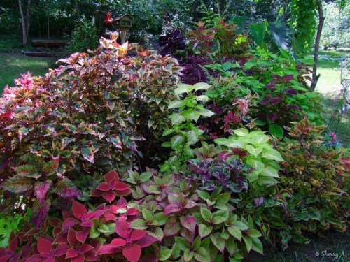 coleus plants thriving