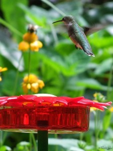 hummingbird at new feeder
