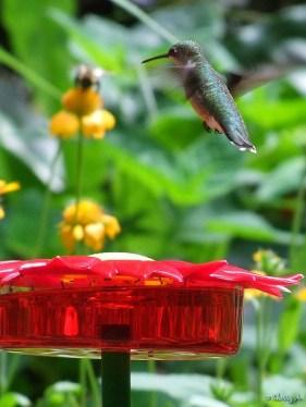 hummingbird at new feeder