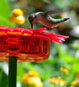 closeup view hummingbird nectaring