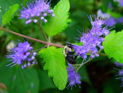 bumble bee on bluebeard shrub