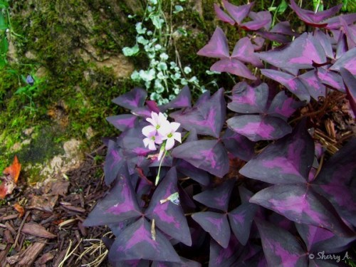 purple shamrocks oxalis