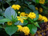 yellow lantana in slope bed above gazebo