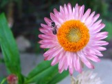 bee on pink strawflower