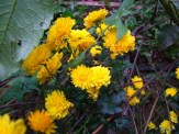 yellow mums in lower rock wall flower bed