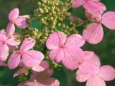 hydrangea pinky winky fall color