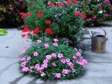 verbena and wandering jew containers