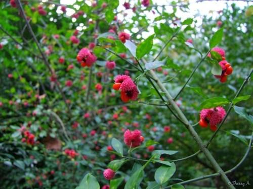 Euonymus spp. Hearts A'Burstin