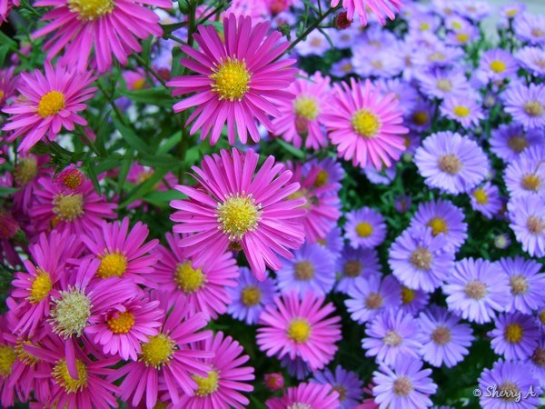 Mums and asters sherry s place