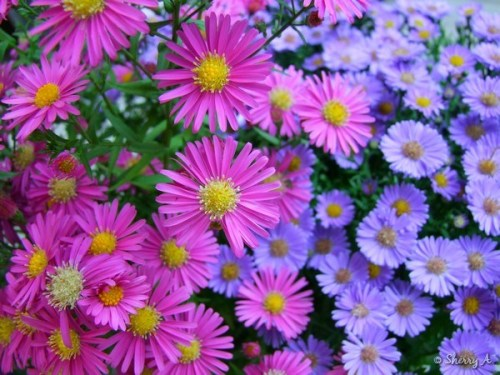 pink and purple asters