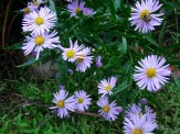asters in front border
