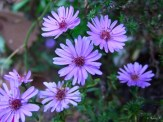 aster in front bed