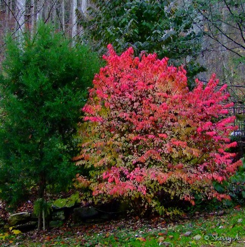 Burning Bush shrub in fall