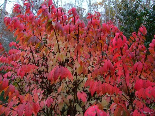 closeup fall foliage burning bush