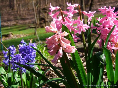 purple and pink hyacinths