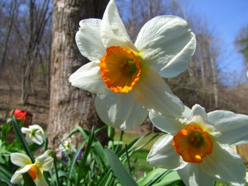 white daffodils in spring bed